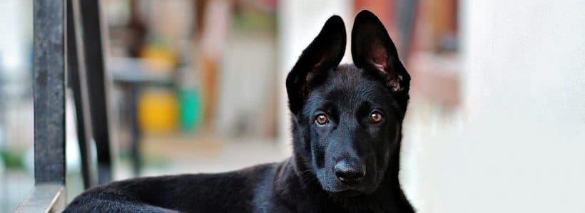 traumhund